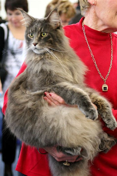 Maine Coon cat - Maineflame Brian Barou   One of the