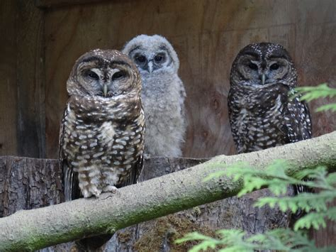 Spotted owls bred to save them from extinction – RCI | English