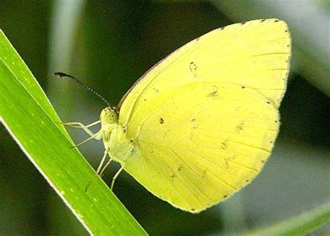 Common Grass Yellow, Large Grass-yellow - Eurema hecabe