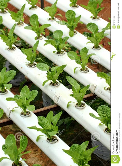 Agriculture - Hydroponic Vegetable 01 Stock Image - Image