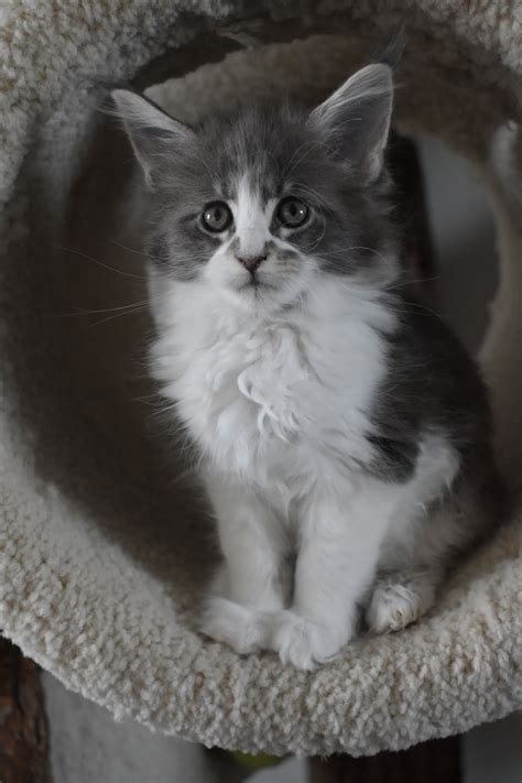 Maine Coon Cattery Seriously Kittens - Maine Coon Cattery