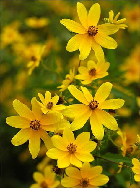 Lets see what are the meanings of yellow Flowers in flower