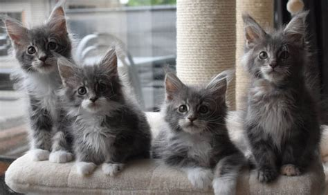 LEAVERS - Maine Coon Cattery Seriously
