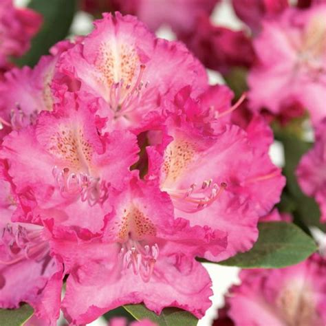 1000+ images about azaleas on Pinterest   Gardens, Spring