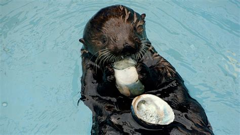 Don't Blame Sea Otters for Abalone Decline   SEAOTTERS