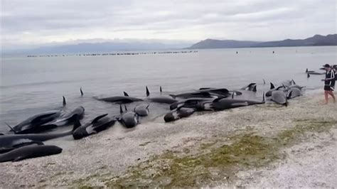 New Zealand: 400 whales wash up dead in 3rd largest mass